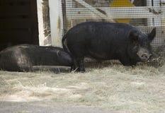 Rolna świnia Zdjęcie Stock