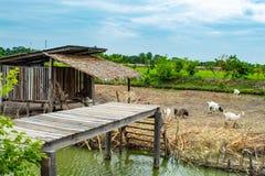 Rolne świnie i kózki woda otaczają niezależnego typ zdjęcia stock