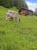 Rolne krowy stoi pastwiskowej trawy w łąkowym góry polu przed drewnianą lato chałupy budą w wiejskim Szwajcarskim Alps terenie w  obraz stock