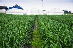 rolnego pola cebula Obraz Royalty Free