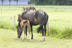 rolni konie Zdjęcia Royalty Free