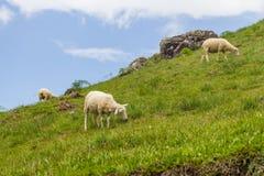 rolni pastwiskowi cakle zdjęcie stock
