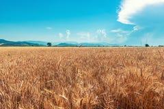 Rolni pszeniczni pola Obrazy Stock