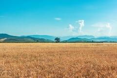 Rolni pszeniczni pola Zdjęcie Royalty Free