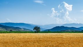 Rolni pszeniczni pola Obraz Stock