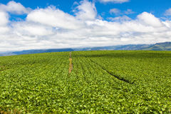 Rolni Rolnictwa Lato Upraw Błękit Chmury Chuchy Zdjęcia Stock