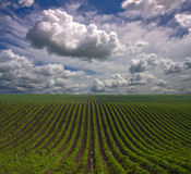 rolni rzędy Zdjęcia Stock