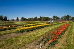 rolni tulipanowi goście Obrazy Royalty Free