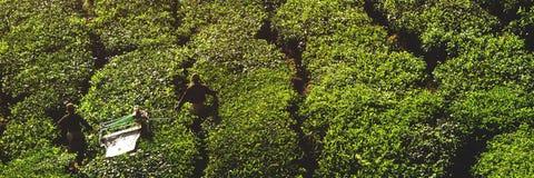 Rolnictwa Agriculturist żniwa uprawy Herbaciany pojęcie Obraz Stock