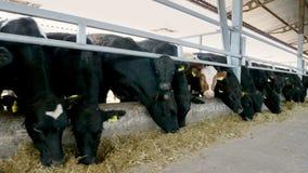 rolnictwa bydlęcia rancho lub gospodarstwo rolne wielki cowshed, stajnia Rząd krowy, duży czarny purebred, lęgowi byki je siano zbiory wideo