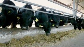 rolnictwa bydlęcia rancho lub gospodarstwo rolne wielki cowshed, stajnia Rząd krowy, duży czarny purebred, lęgowi byki je siano zdjęcie wideo