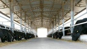 rolnictwa bydlęcia rancho lub gospodarstwo rolne wielki cowshed, stajnia Rzędy krowy, duży czarny purebred, lęgowi byki jedzą sia zbiory