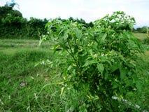 Rolnictwa chili pieprzu także chile pieprz lub chili pieprz przy g Fotografia Stock