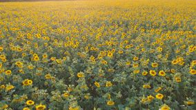 rolnictwa comcept Powietrzny strzelaniny pole słoneczniki w lecie zbiory wideo