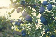 rolnictwa gałąź pojęcia owoc śliwkowy smakowity drzewo Obraz Stock