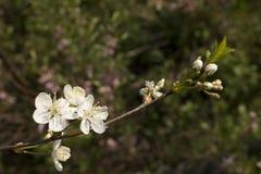 rolnictwa gałąź pojęcia owoc śliwkowy smakowity drzewo Obrazy Royalty Free