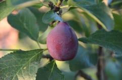 rolnictwa gałąź pojęcia owoc śliwkowy smakowity drzewo Zdjęcia Stock