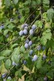 rolnictwa gałąź pojęcia owoc śliwkowy smakowity drzewo Obrazy Stock