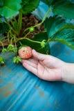 Rolnictwa gospodarstwo rolne Dziecka ` s ręka trzyma świeżej truskawki Fotografia Stock