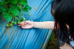 Rolnictwa gospodarstwo rolne Szczęśliwego azjatykciego dziecka przyglądająca świeża truskawka Zdjęcia Royalty Free