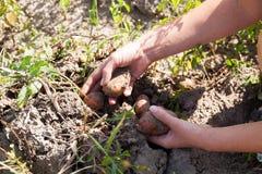 Rolnictwa kartoflany tło, warzywa hodowlani obraz royalty free