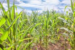 Rolnictwa kukurydzany pole Fotografia Stock