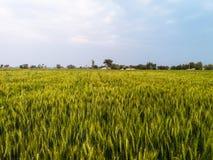 Rolnictwo i pszeniczny pole Zdjęcia Royalty Free