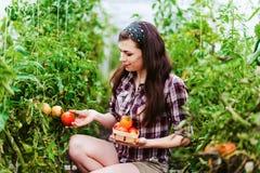 Rolnictwo kobiety pracownik zbiera pomidory w szklarni Zdjęcie Stock