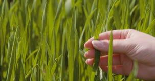 Rolnictwo, kobiety ręki wzruszające pszeniczne uprawy przy gospodarstwem rolnym zdjęcie wideo
