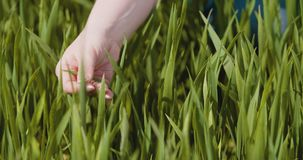 Rolnictwo, kobiety ręki wzruszające pszeniczne uprawy przy gospodarstwem rolnym zbiory