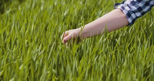 Rolnictwo, kobiety ręki wzruszające pszeniczne uprawy przy gospodarstwem rolnym zbiory wideo