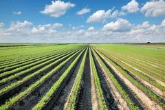 Rolnictwo, marchewki pole w lecie Zdjęcie Stock
