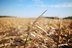 Rolnictwo, na polu kukurudza Obrazy Royalty Free