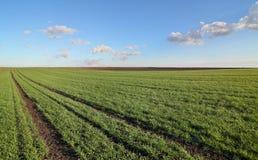 Rolnictwo, pszeniczny pole w wiośnie obrazy royalty free