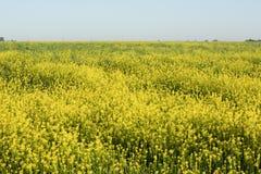Rolnictwo roślina Zielenieje energię Żółty rapeseed pole w pogodnym Zdjęcie Stock