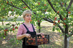 Rolnictwo, rolnik w morelowym sadzie Obrazy Stock