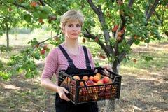 Rolnictwo, rolnik w morelowym sadzie Fotografia Stock