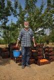 Rolnictwo, rolnik w morelowym sadzie Zdjęcia Stock