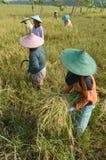 Rolnictwo Ryżowy Śródpolny pracownik 01 Fotografia Stock