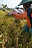 Rolnictwo Ryżowy Śródpolny pracownik 02 Zdjęcie Stock