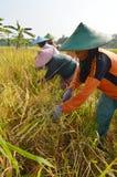 Rolnictwo Ryżowy Śródpolny pracownik 03 Obrazy Royalty Free