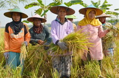 Rolnictwo Ryżowy Śródpolny pracownik 05 Zdjęcia Royalty Free