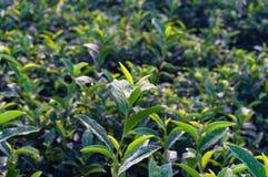 Rolnictwo scena Zamyka up zielona herbata liście Fotografia Stock