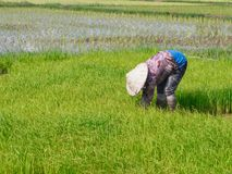 Rolnictwo w ryżowych polach zdjęcie stock