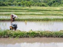 Rolnictwo w ryżowych polach zdjęcia stock