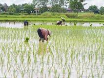 Rolnictwo w ryżowych polach obrazy royalty free