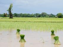 Rolnictwo w ryżowych polach Fotografia Stock