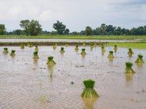 Rolnictwo w ryżowych polach Obrazy Stock