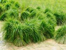 Rolnictwo w ryżowych polach Fotografia Royalty Free