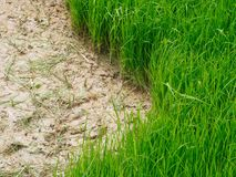 Rolnictwo w ryżowych polach Obraz Stock